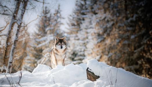 动物,捕食者,狼,森林,冬天,看