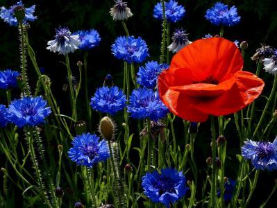 麦金托什,草甸,矢车菊,鲜花