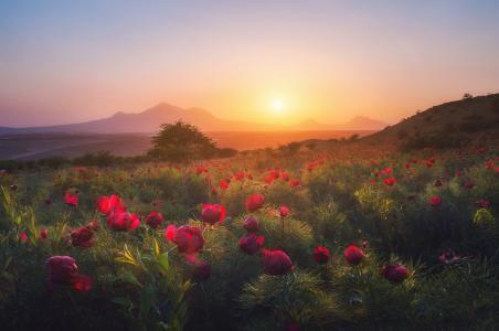 自然,夏天,景观,斜坡,鲜花,牡丹,草地,晚上,日落,阴霾