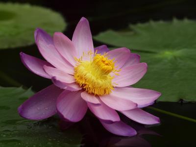 粉红色,睡莲,花,荷花,莲花,池塘