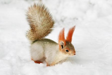 自然,冬天,松鼠