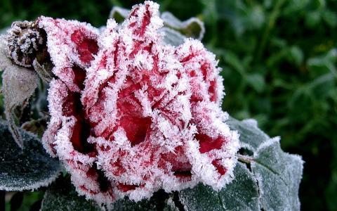 花,花园,霜,白霜,冰,秋天