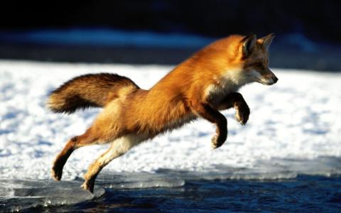 狐狸,号角,飞行,捕食者,冰,冬天,水