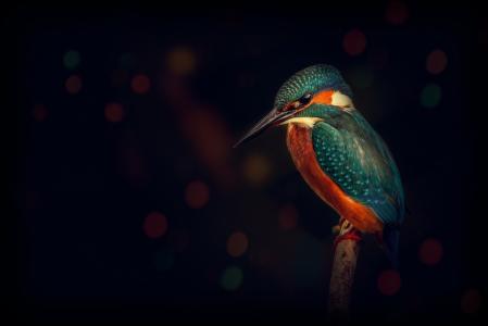 翠鸟,鸟,分支