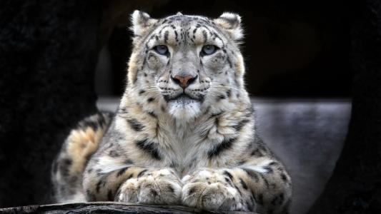 豹,白,野,森林
