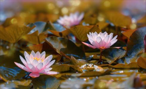 性质,池塘,叶子,睡莲,鲜花,青蛙,散景