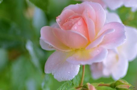 鲜花,美女,花卉,背景,花瓣,玫瑰,鲜花的世界