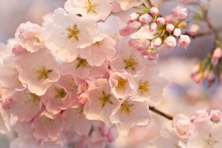照片,盛开,春天,美丽