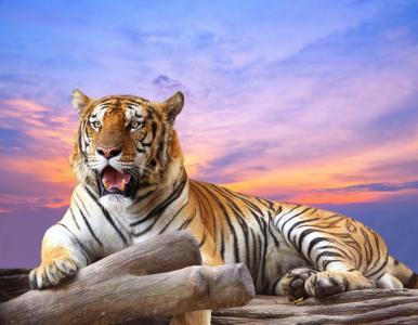 老虎,日志,性质