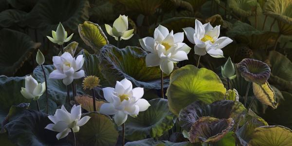 莲花,鲜花,植物群