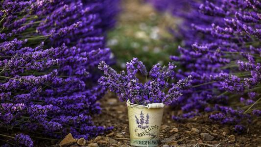 薰衣草,紫色,鲜花