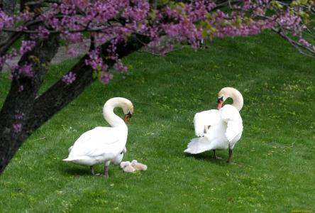 天鹅,鸟,家庭,春天,自然,树木,林间空地,鲜花,径,孩子们