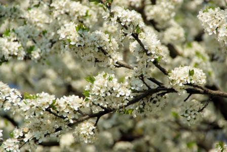 花瓣,春天,科,开花,樱桃