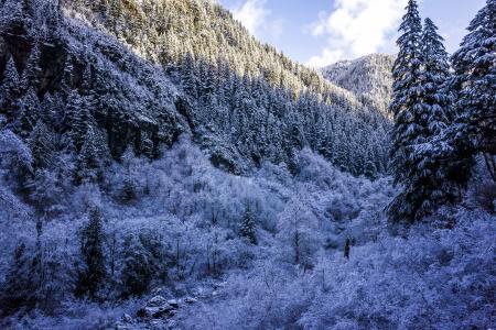 冬天,森林,雪,云杉,性质