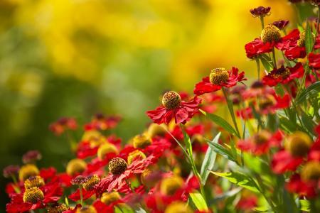 自然,夏天,鲜花,黄金菊