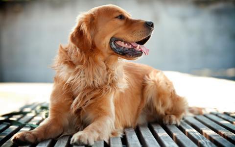 壁纸,动物,狗,猎犬