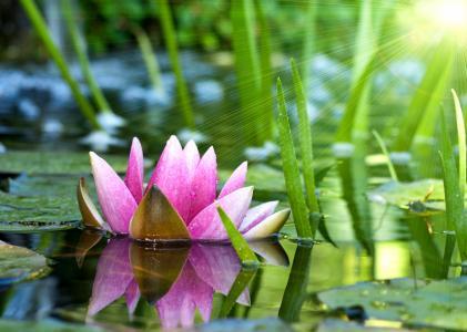 花,睡莲,莲花,睡莲,水,粉红