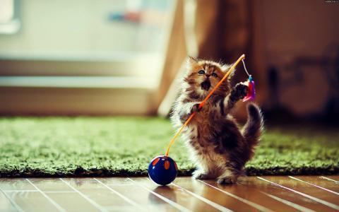 小猫,地板,地毯