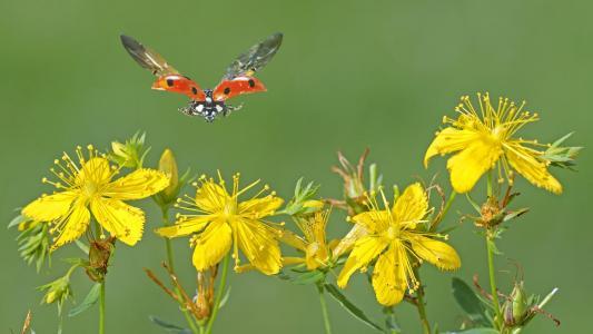 黄色的花朵,瓢虫,飞行,宏