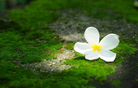 花,素馨花,绿色,鸡蛋花,宏