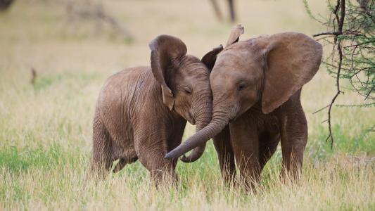 动物,大象