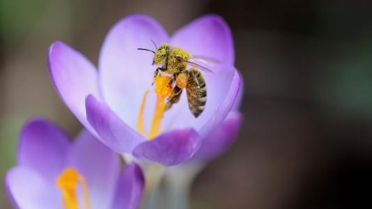 微距采蜜的蜜蜂