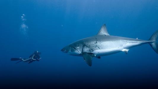白鲨,鲨鱼,水下,捕食者,极端,潜水