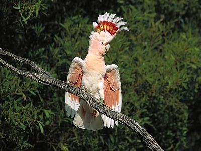 鹦鹉,羽毛,分支