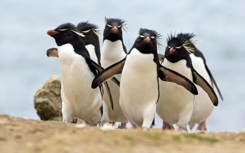 凤头企鹅,企鹅,鸟类