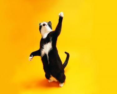 猫,嬉戏,黑色和白色,橙色背景