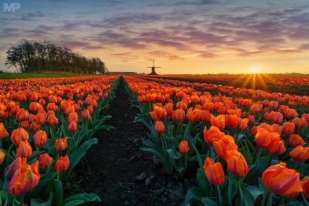 春天,树木,天空,性质,太阳,鲜花,郁金香