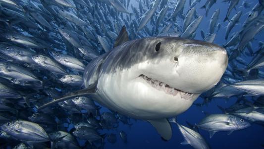 鱼,海,白鲨鱼