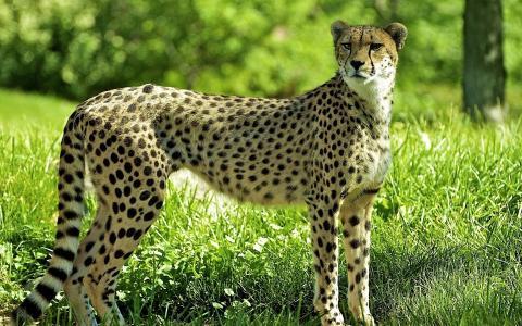 猎豹,草,Guepard,猎豹,林间空地,森林