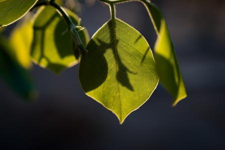 分支,叶子,绿色,阴影,光,条纹,宏
