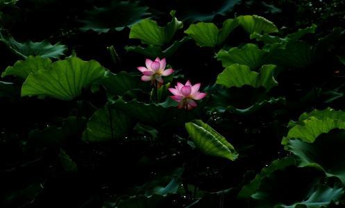 英镑,花,叶,花,叶,开花,莲花,水,水,莲花,池塘