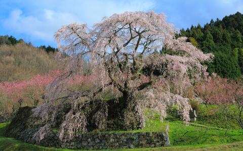 樱花,天空,树木,日本,春天