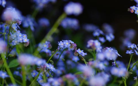 蓝色,宏观,勿忘我,夏天,鲜花