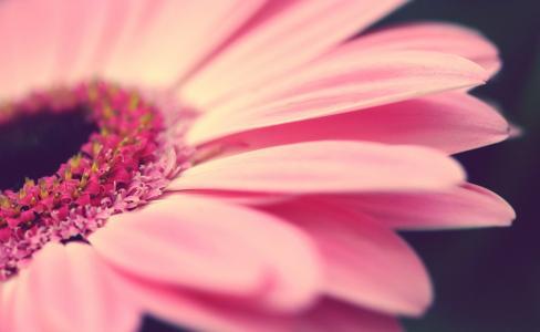 粉红色,鲜花,非洲菊