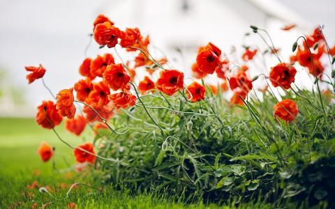照片,鲜花,罂粟花,夏天