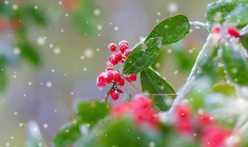 雪,叶子,浆果,性质