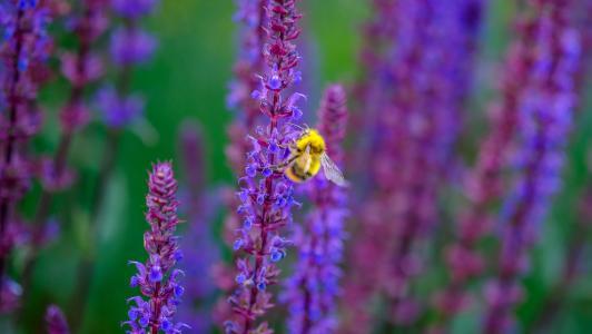 花,昆虫,蜜蜂,鼠尾草