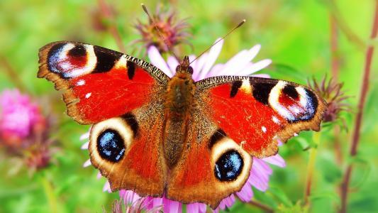翩翩起舞的孔雀蝴蝶