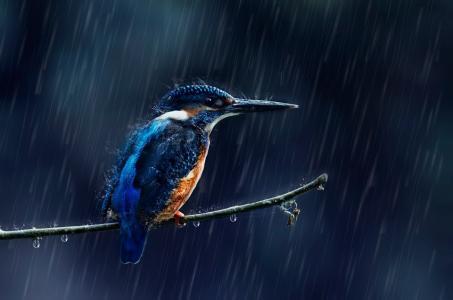 滴,喷,雨,鸟,树枝,翠鸟