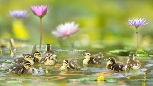 自然,水,小鸭,池塘,鲜花,睡莲,睡莲