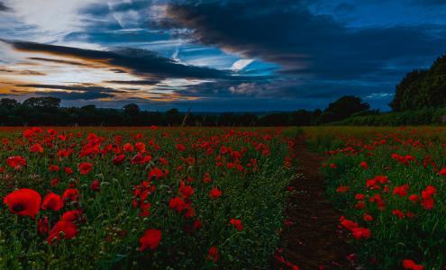 日落,场,鲜花,罂粟,景观