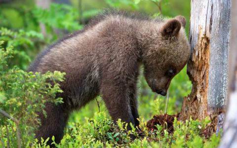 动物,幼崽,熊,树,森林