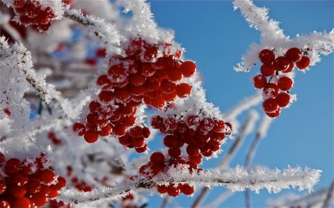 浆果,宏,白霜,雪,分支机构