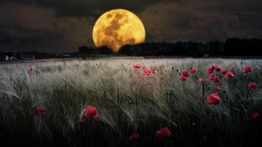 月亮,天空,场,耳朵,罂粟