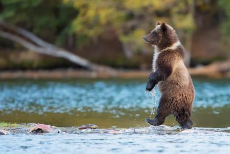 水,自然,河,鱼,动物,捕食者,加拿大,熊,灰熊