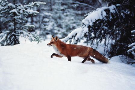 狐狸,冬天,森林,雪,美丽